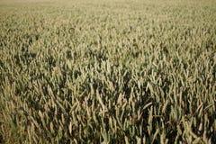 Campo della pianta del cereale con cielo blu in un giorno di estate soleggiato prima della raccolta Fotografia Stock Libera da Diritti