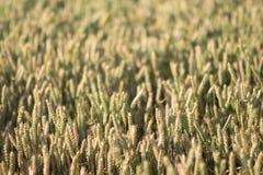 Campo della pianta del cereale con cielo blu in un giorno di estate soleggiato prima della raccolta Fotografie Stock