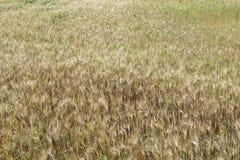 Campo della pianta del grano Fotografia Stock