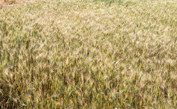 Campo della pianta del grano Fotografie Stock Libere da Diritti