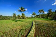 Campo della pianta dell'albero dell'isola di Bali del terrazzo del riso fotografia stock libera da diritti