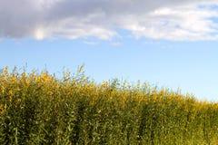 Campo della pianta della canapa industriale fotografia stock libera da diritti