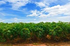Campo della pianta della manioca. Fotografia Stock Libera da Diritti
