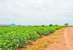 Campo della pianta della manioca Fotografie Stock