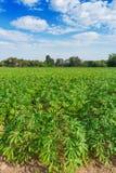 Campo della pianta della manioca Fotografia Stock Libera da Diritti