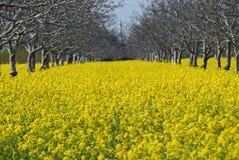 Campo della pianta della senape Immagine Stock Libera da Diritti