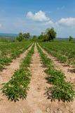Campo della pianta di agricoltura del terreno coltivabile della manioca o della manioca Fotografie Stock