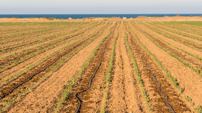 Campo della pianta di cereale Fotografie Stock Libere da Diritti