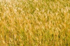 Campo della pianta di hordeum Fotografia Stock Libera da Diritti