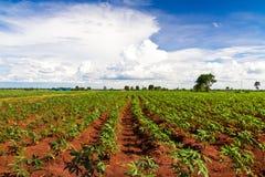 Campo della pianta di manioca o della manioca Immagini Stock