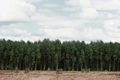 Campo della pianta di manioca o della manioca Fotografie Stock
