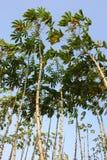 Campo della pianta di manioca o della manioca in Tailandia Fotografie Stock