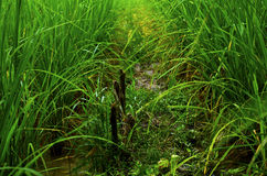Campo della pianta di riso Fotografia Stock