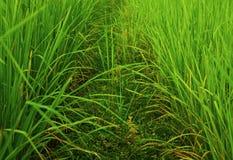 Campo della pianta di riso Fotografia Stock Libera da Diritti