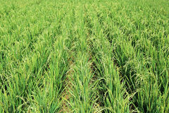 Campo della pianta di riso ibrido Immagine Stock Libera da Diritti