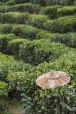 Campo della pianta di tè Immagine Stock Libera da Diritti