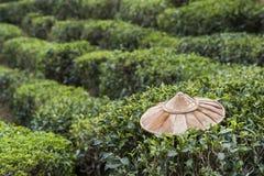 Campo della pianta di tè Fotografia Stock Libera da Diritti