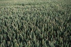 Campo della pianta verde del cereale con cielo blu in un giorno di estate soleggiato prima della raccolta Immagini Stock