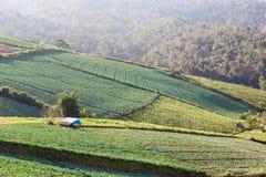 Campo della piantagione dei cavoli sulla montagna Immagini Stock