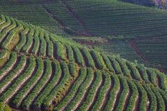 Campo della piantagione della fragola in chiangmai o nordica del angkhang di doi Fotografia Stock Libera da Diritti