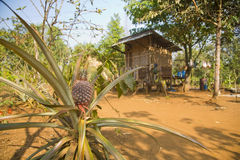 campo della piantagione della frutta dell'ananas, terra dell'azienda agricola, Laos Immagini Stock Libere da Diritti