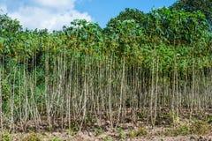 Campo della piantagione della manioca in Tailandia Fotografie Stock