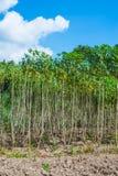 Campo della piantagione della manioca in Tailandia Immagini Stock Libere da Diritti