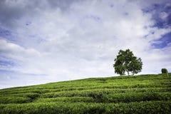 Campo della piantagione di tè Immagini Stock Libere da Diritti