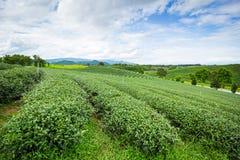 Campo della piantagione di tè Immagine Stock