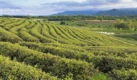 Campo della piantagione di tè sopra alta terra Fotografie Stock