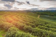 Campo della piantagione di tè sopra l'alto tono di tramonto della collina Immagine Stock