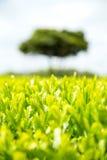 Campo della piantagione di tè verde con fondo Fotografia Stock Libera da Diritti