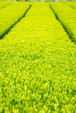 Campo della piantagione di tè verde con fondo Immagine Stock