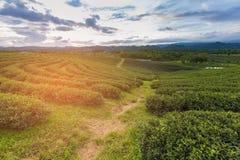 Campo della piantagione di tè verde con il tono di tramonto Fotografia Stock Libera da Diritti
