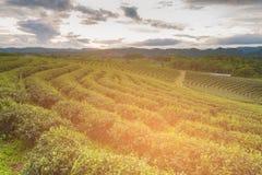 Campo della piantagione di tè verde su alta terra Immagine Stock Libera da Diritti