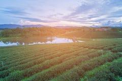 Campo della piantagione di tè verde sull'alta collina Fotografie Stock Libere da Diritti