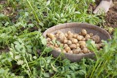 Campo della piantagione della patata in Thakurgong, Bangladesh Fotografia Stock