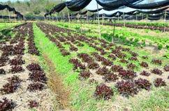 Campo della piantagione rossa e verde organica della lattuga della quercia in scuola materna Immagini Stock