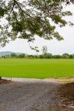 Campo della piantina del riso Fotografie Stock Libere da Diritti