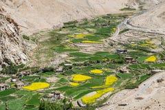 Campo della senape in Leh Ladakh, India Immagine Stock