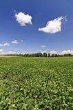 Campo della soia in autunno Immagine Stock Libera da Diritti