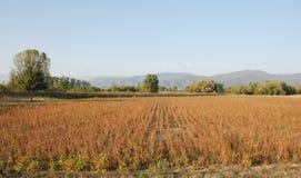 Campo della soia in autunno Immagini Stock Libere da Diritti