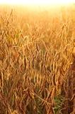 Campo della soia nel primo mattino Fotografia Stock