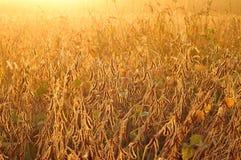 Campo della soia nel primo mattino Immagine Stock