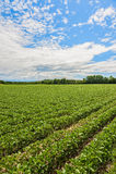 Campo della soia Paesaggio agricolo Immagine Stock