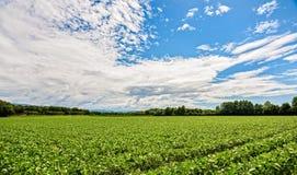 Campo della soia Paesaggio agricolo Fotografia Stock Libera da Diritti
