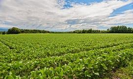 Campo della soia Paesaggio agricolo Immagini Stock