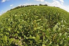 Campo della soia pronta per il raccolto Fotografie Stock Libere da Diritti