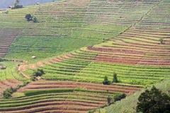 Campo della verdura del terrazzo Immagini Stock