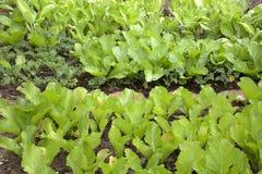 Campo della verdura della famiglia Fotografia Stock Libera da Diritti